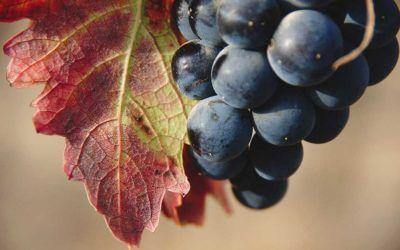 """¿SABÍAS QUE…la variedad Tempranillo se llama así porque se vendimia """"más temprano"""" que el resto de uvas tintas?"""